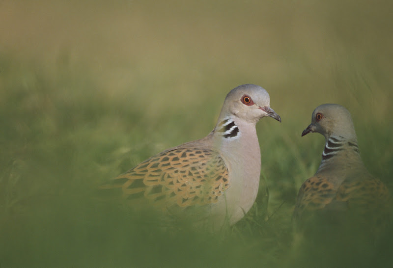 Turtle doves - cpt rspb images