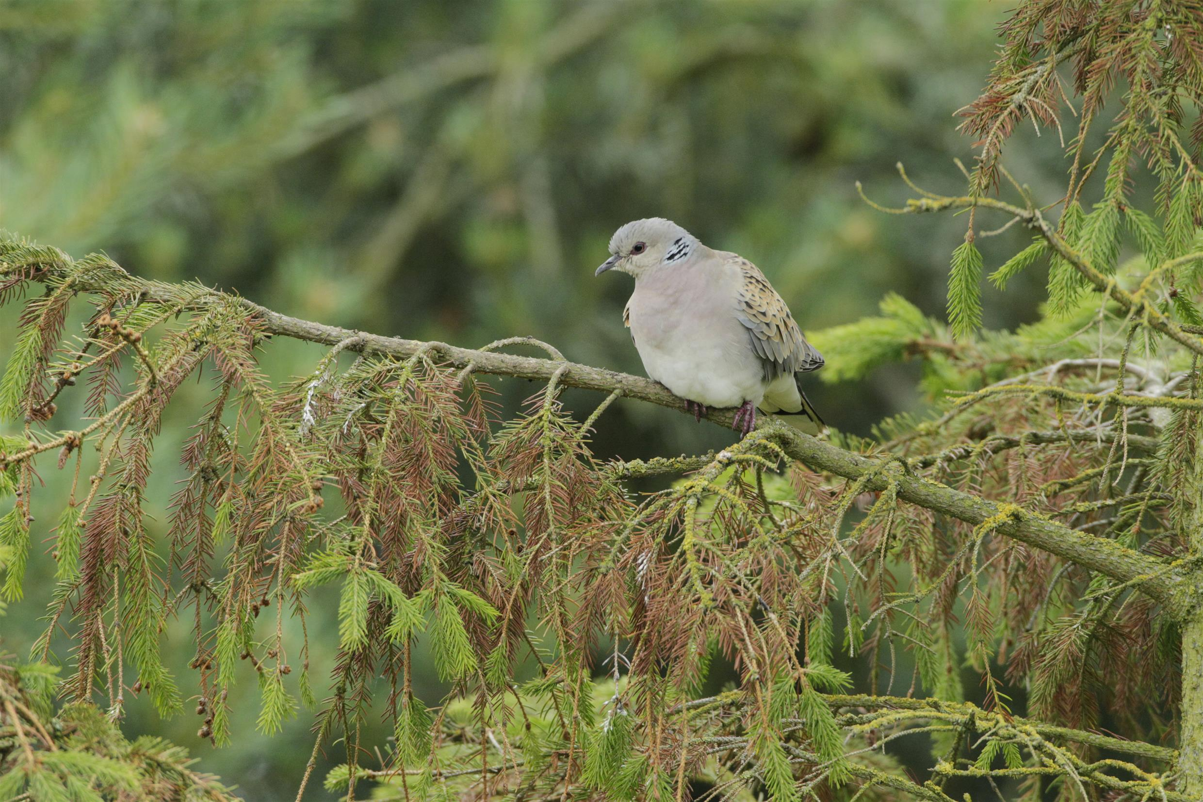 Turtle Dove perched in tree - Andy Hay-RSPB Images