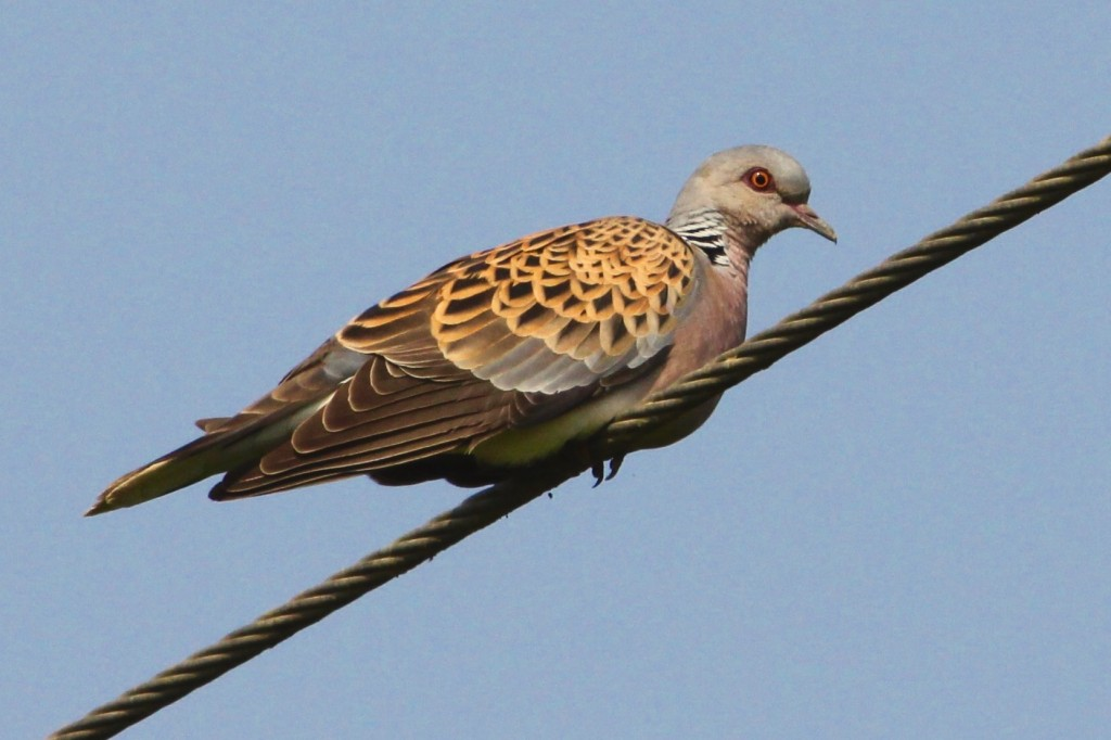 Turtle dove_Essex_photo credit to Robin Fenner (2)