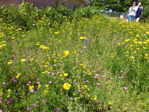 Hampton Court wildflower meadow - gardens - S Abbott