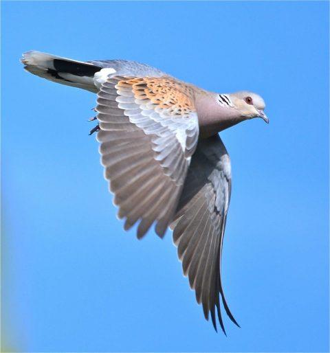 Turtle dove in flight