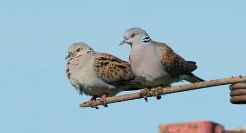 Turtle dove Streptopelia turtur, pair perched on agricultural machinery, Essex, England, June_photo credit: Andy Hay CFE
